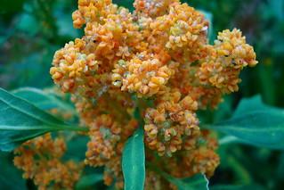 Quinoa flowering