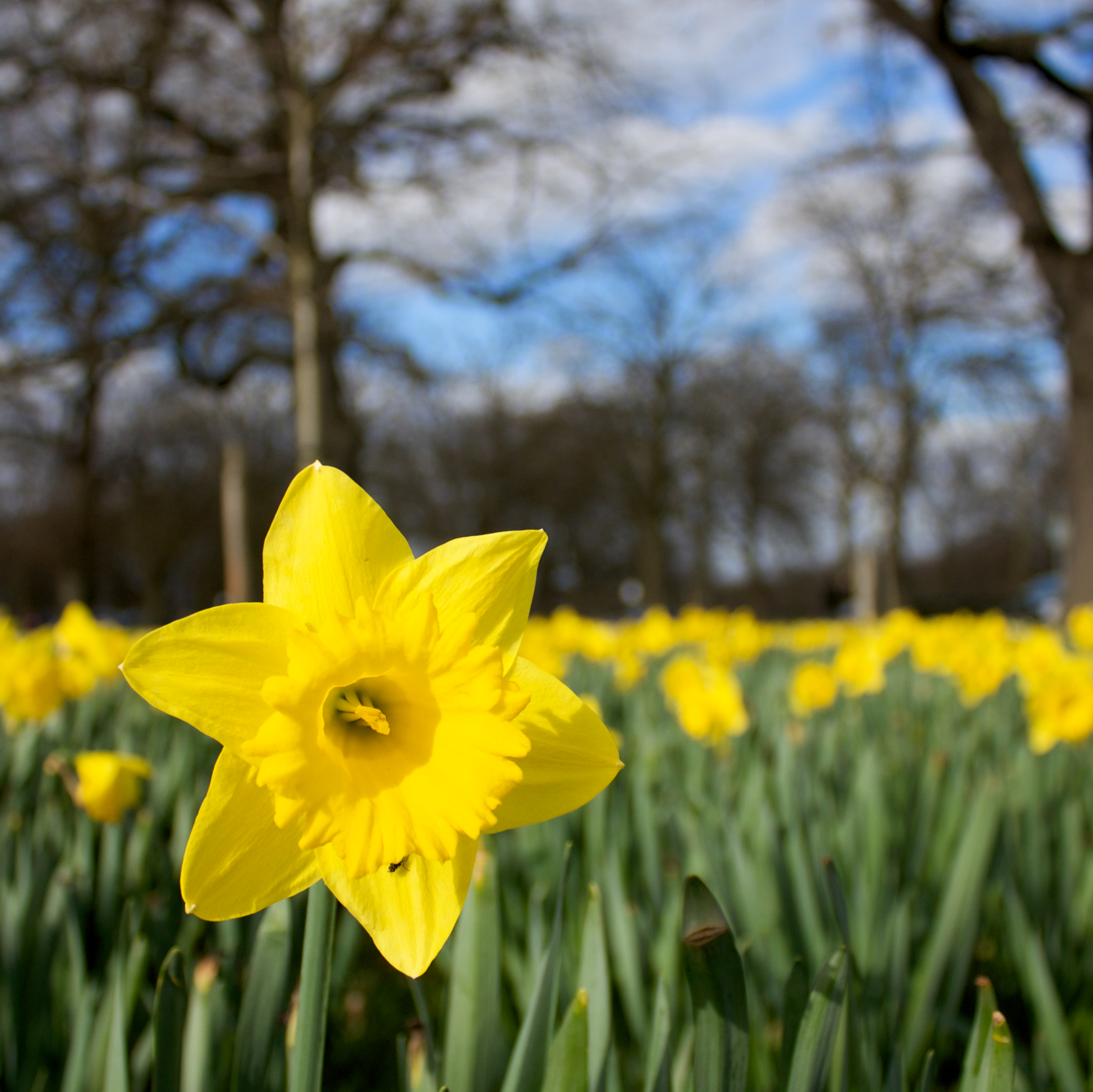 spring daffodils for mothers day