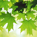 OS X Snow Leopard Wallpaper - Summer Leaves