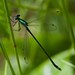 Elegant Spreadwing - Photo (c) Jason Forbes, some rights reserved (CC BY-NC-ND)