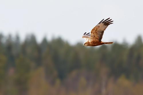 Circus aeruginosus  Western Marsh-Harrier  Brun kärrhök