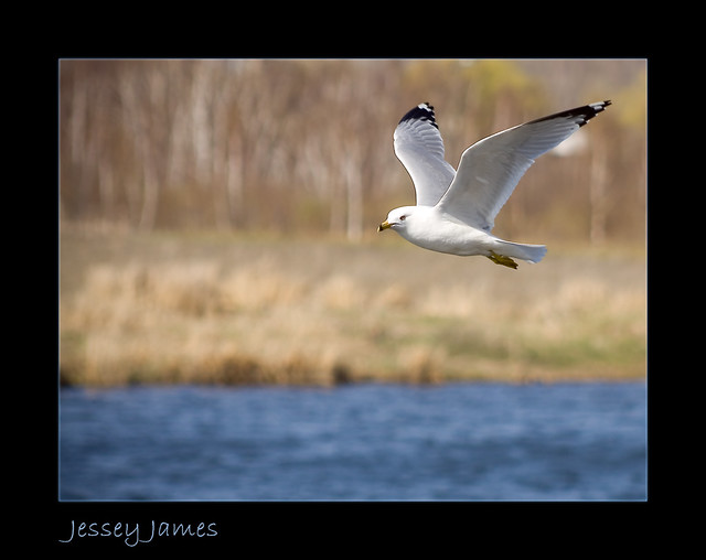 Seagull- from Sudbury in Northern Ontario
