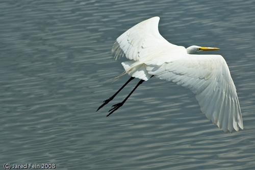 A Flying Great Egret