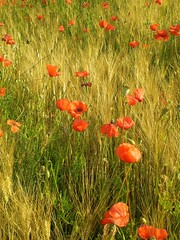 crazy for poppies #1