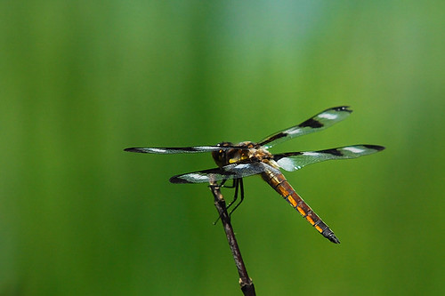 Dragonfly - on the stick...