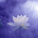 Lotus Flower - Purple BG -  IMG_3559