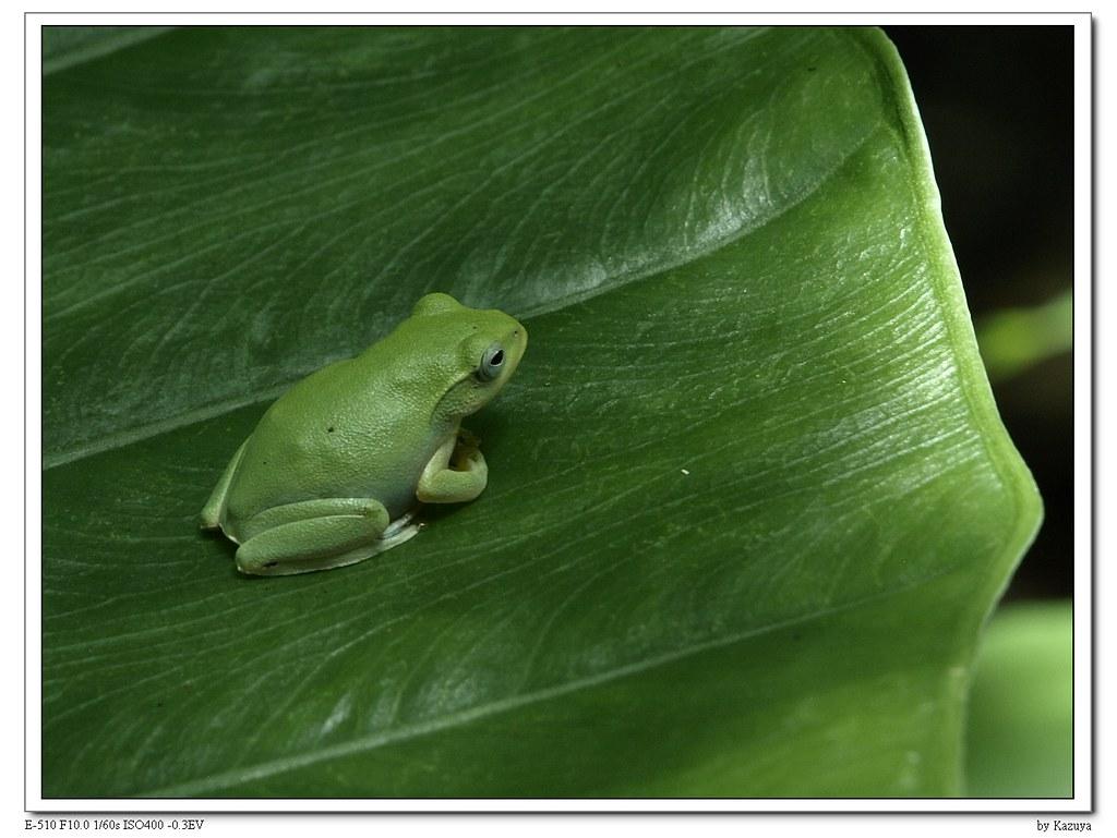 台北树蛙图片