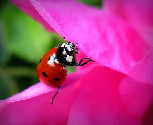 pink red summer flower macro nature rose canon bug finland insect petals outdoor maria images ladybird ladybug sue wildrose kesä kerimäki luonto laakso kukka insectonflower leppäkerttu anttola insectphotography easternfinland canonpowershota710is diamondclassphotographer pinoykodakero sue323 larawangpinoy pinktuesday