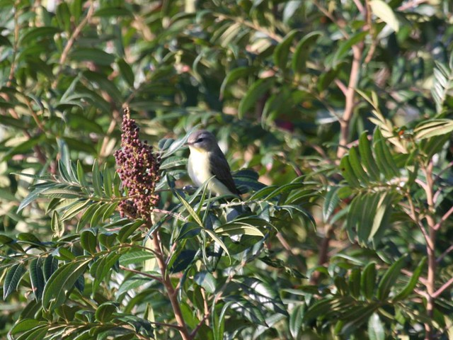 Philadelphia Vireo - Higbee Beach - Sept 20th, 2008
