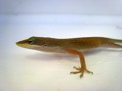 animal, amphibian, reptile, lizard, gecko, fauna, scaled reptile,