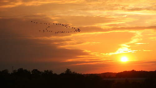 sunset geese farm flock maryland canadian v chestertown