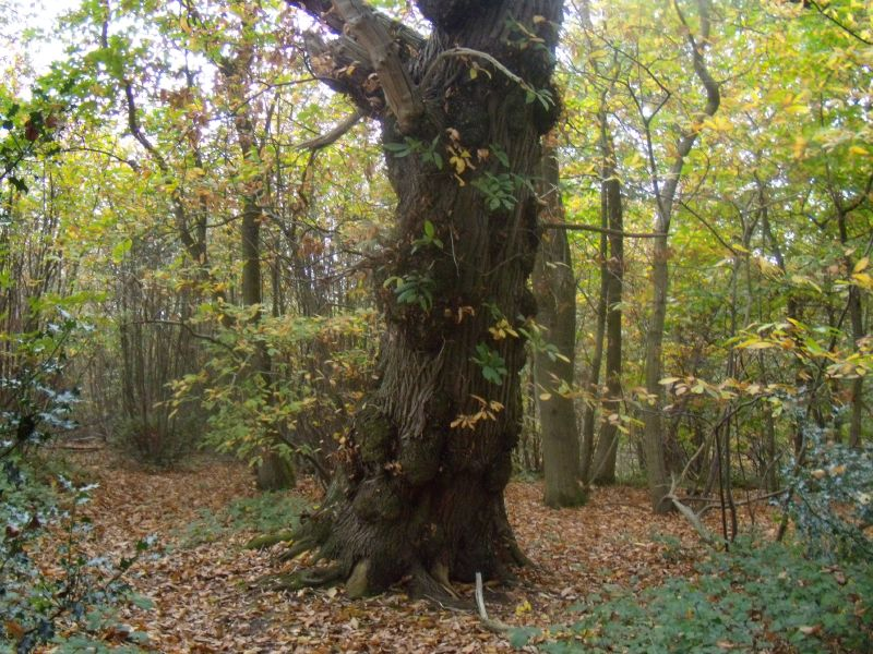 Large oak Milford to Godalming