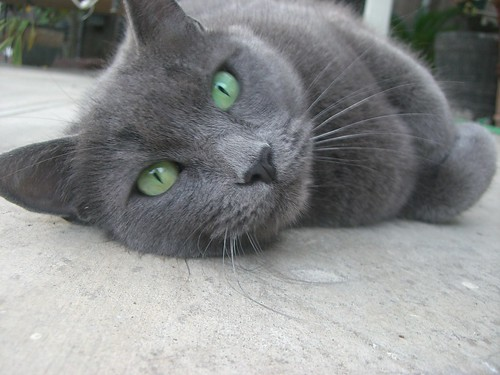 Grey Cat Green Eyes | my sisters cat | gloria | Flickr Gray And White Cat With Green Eyes