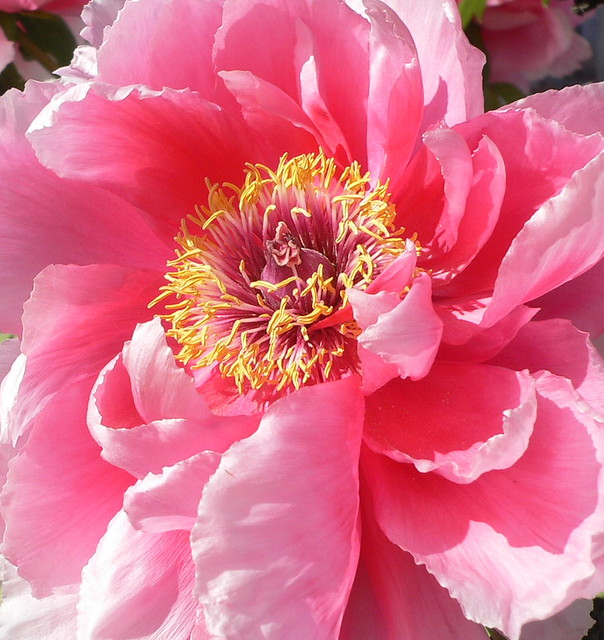 great peony flower paeonia suffruticosa flickr. Black Bedroom Furniture Sets. Home Design Ideas