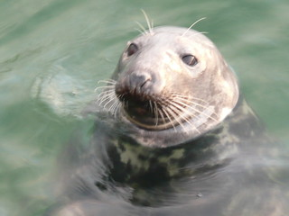 Seals in The Harbour at St.Ives,Cornwall (6)