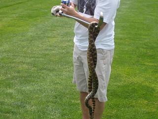 king snake, snakes,