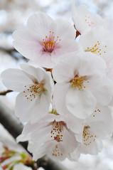 桜 sakura_28