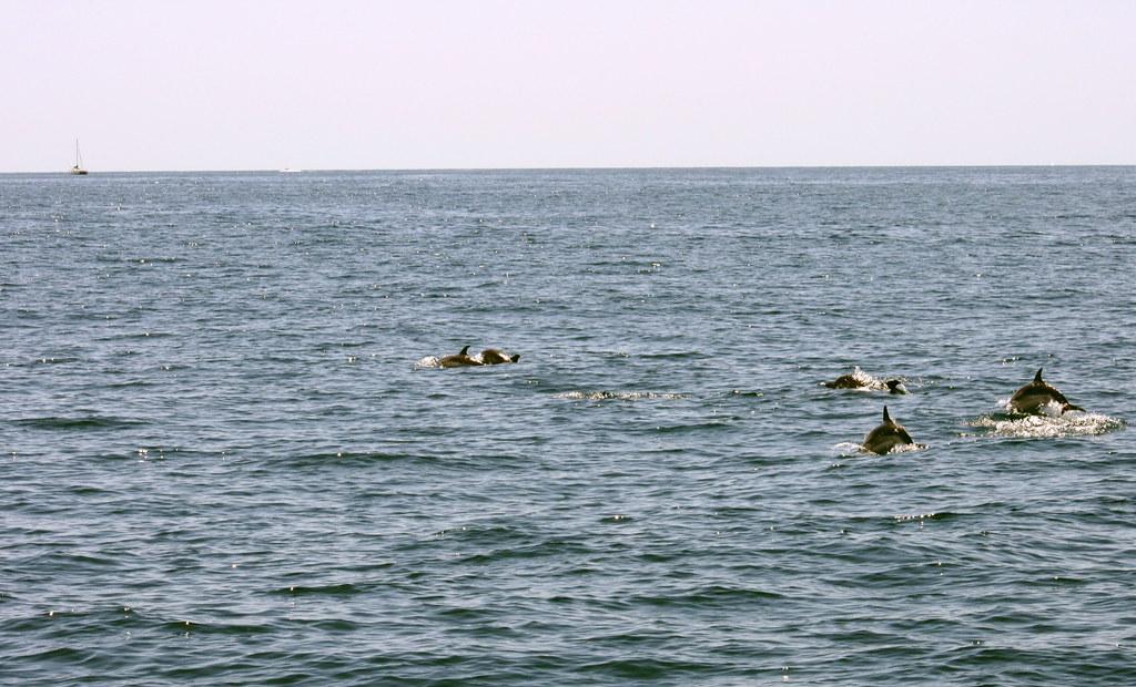 Dolphins escorting the whales towards Liguria Sea. Delfines escoltando a las Ballenas en su Viaje al Mar de Liguria
