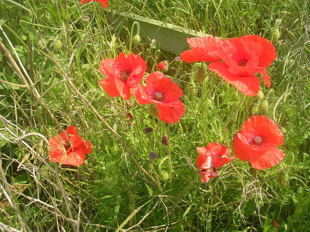 poppies Lewes to Rodmell (via Northease) to Seaford