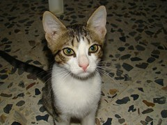 animal, kitten, small to medium-sized cats, pet, cat, carnivoran, whiskers, domestic short-haired cat,