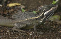 Basilisco común - Photo (c) Brian Gratwicke, algunos derechos reservados (CC BY-NC)