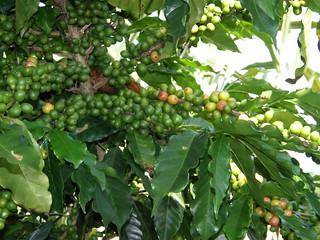 Planta del café (Coffea arabica)