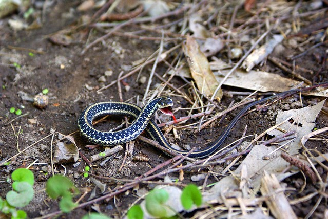 Texas garter snake flickr photo sharing Garden snakes in texas