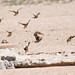 Small photo of Synchronised sandgrouse