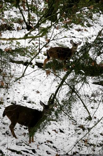 interrupting the deer brunch in our backyard    MG 3629