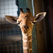 Giraffe Calf Outside Basking in the Sun (Photo by: May Woon)