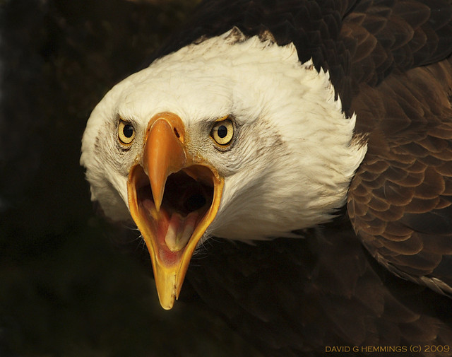Eagle Crying Photo http://www.flickr.com/photos/davidhemmings/5697913008/
