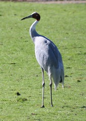 stork, animal, fauna, little blue heron, beak, crane-like bird, crane, bird, wildlife,