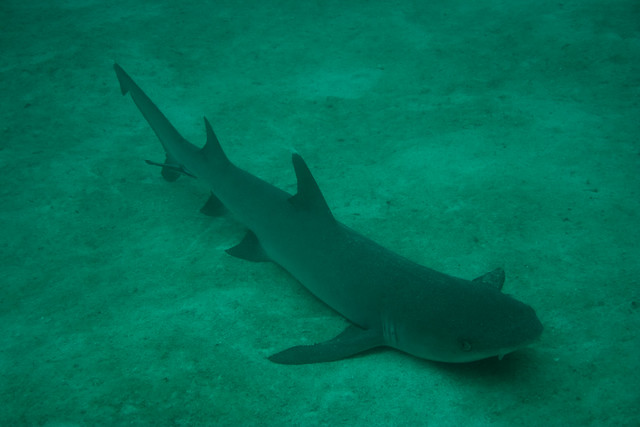 Whitetip Reef Shark, Saxton Reef