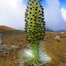 Haleakala Silversword - Photo (c) Conor Dupre-Neary, some rights reserved (CC BY-NC-ND)