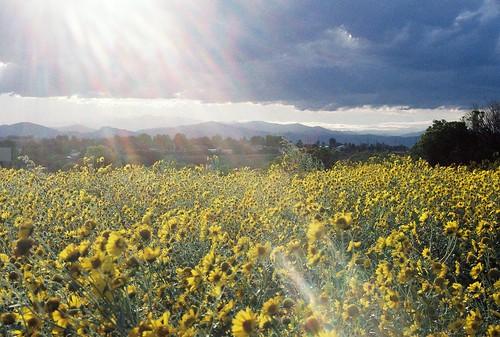 mountain flower field yellow colorado