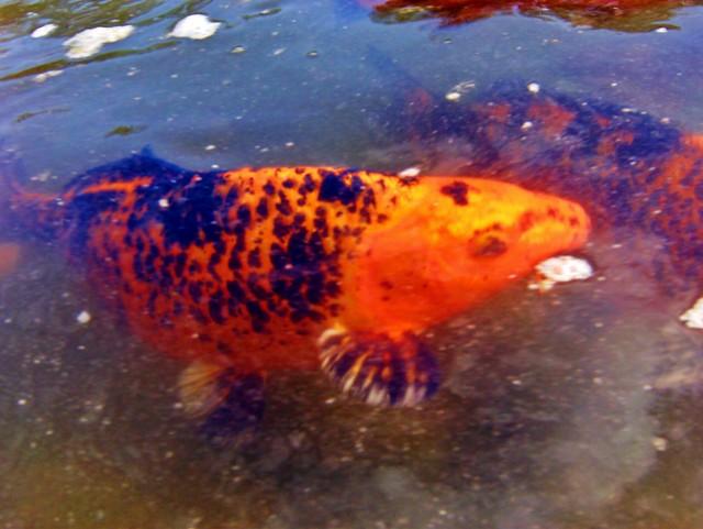 Orange and black koi koi at japanese watergarden by for Orange and black koi