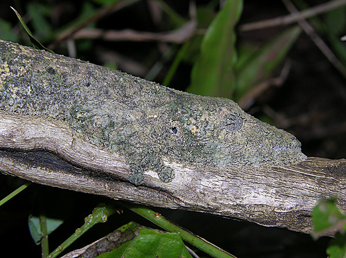 Camouflaged leaf-tailed gecko (Uroplatus sikorae), Montagne d'Ambre, Madagascar