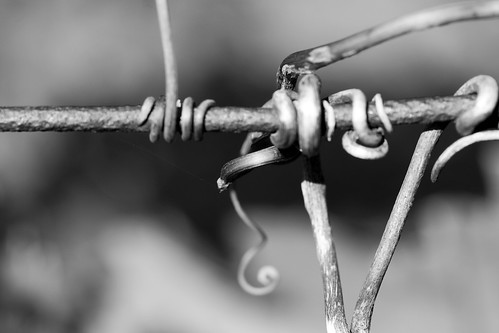 curling tendrils of vine