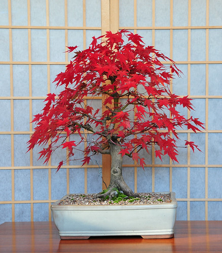 Acer rubrum red maple bonsai kirmizi ak aa a - Arce rubrum bonsai ...