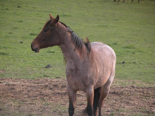 Bay Roan Horse