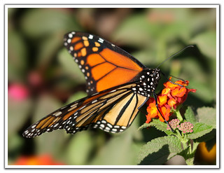 Monarch Butterfly, A Different Angle