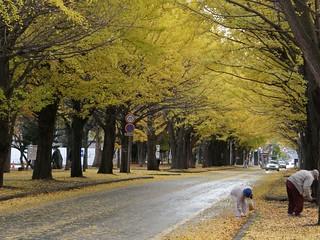 北海道大學銀杏道 @ 2008-11-04