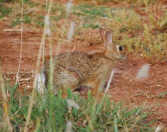 Cottontail rabbit habitat - photo#12