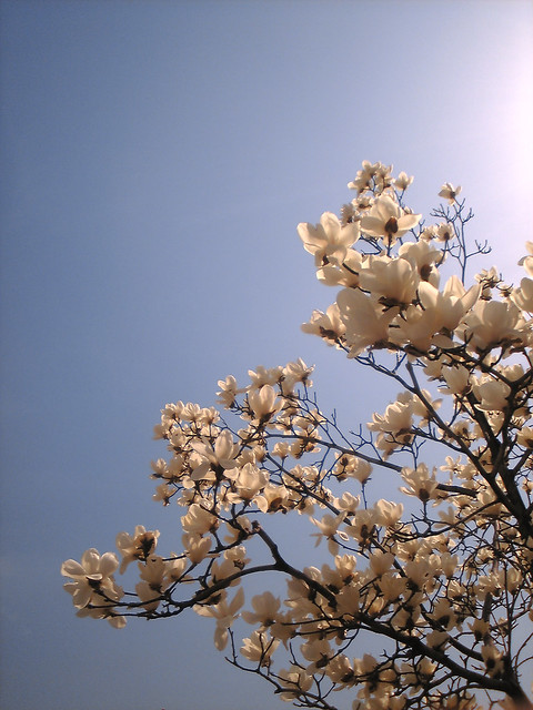 The magnolias are in full bloom.