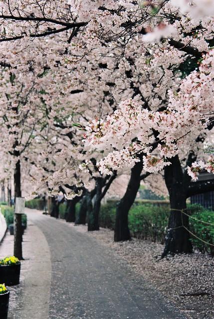 櫻花小徑 松本城