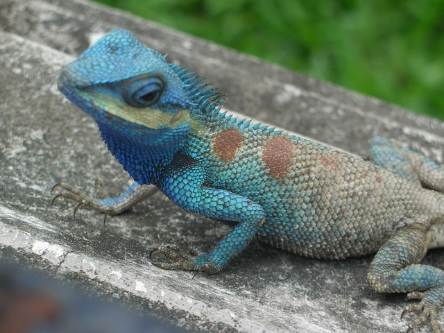 Blue lizzard