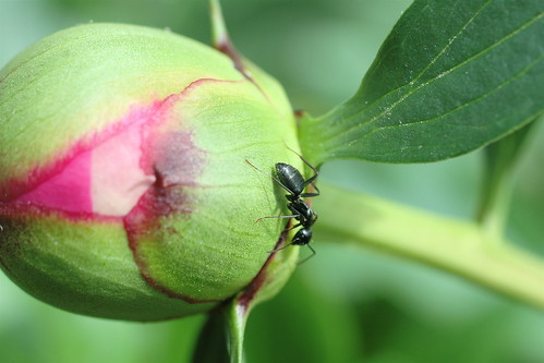the ant and the peony.