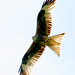 Red Kite - Milvus milvus by ukespresso