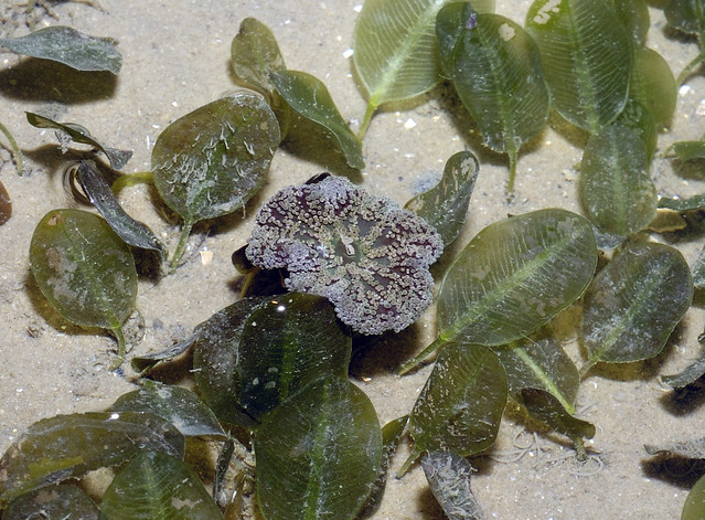Mini carpet anemone (Stichodactyla tapetum)