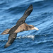 Northern Giant Petrel - Photo (c) Marj Kibby, some rights reserved (CC BY-NC)